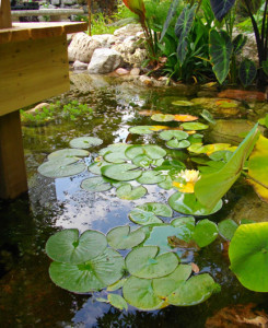 Fish Ponds with Lilies