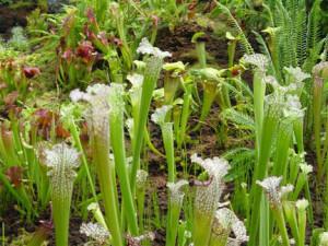 Bog Plants for your Bog Filter
